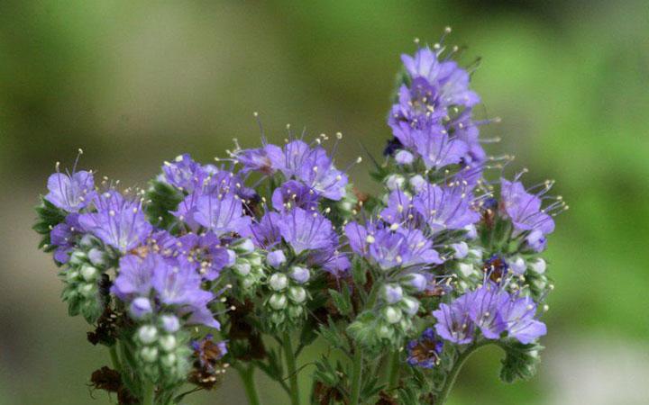 Медоносы многолетники для пчел