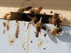 Нозематоз у пчел