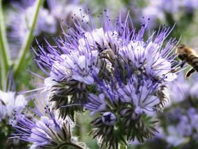 Пчела и фацелия