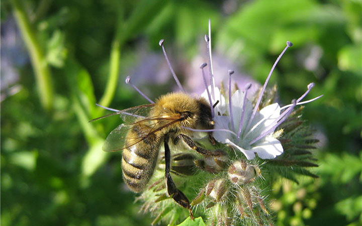 Пчела на цветке фацелии