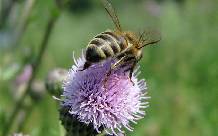 Пчела на цветке осота