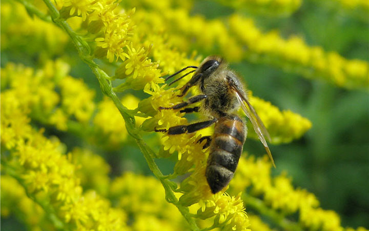 Пчела на цветке золотарника
