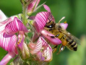 Пчела на эспарцете