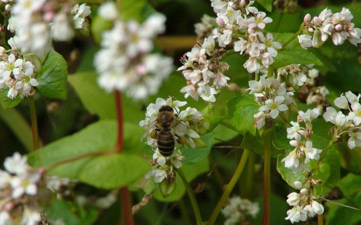 Пчела на гречихе