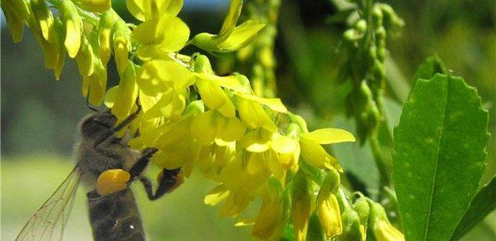 Пчела на желтом доннике