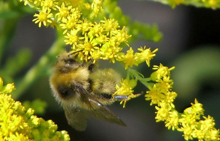 Пчела на золотарнике