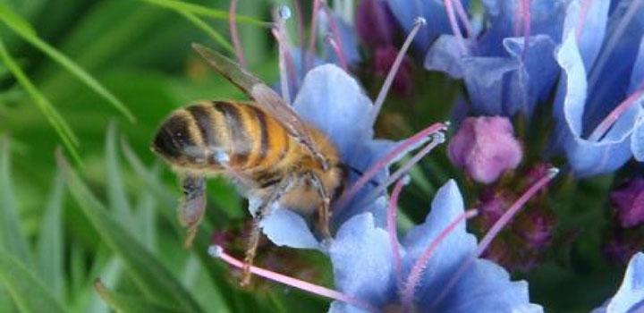 Пчела собирает нектар с донника