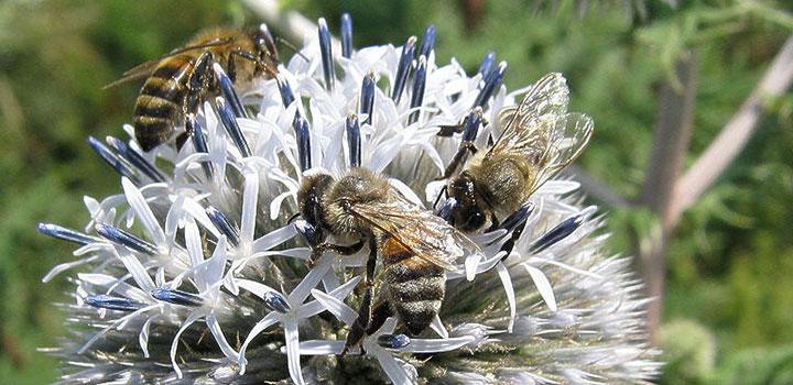 Пчелы на цветке мордовника