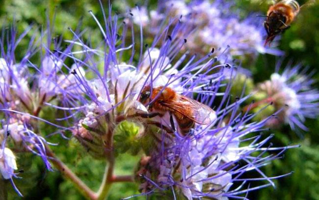 Пчелы опыляют фацелию