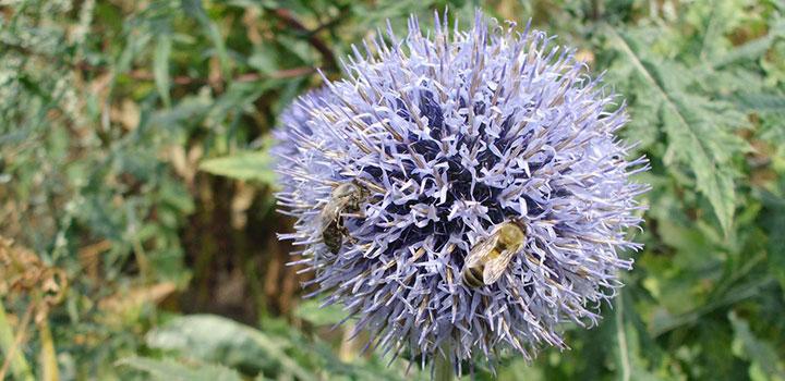 Пчелы за работой на мордовнике