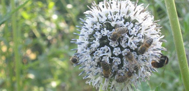 Пчелы собирают нектар