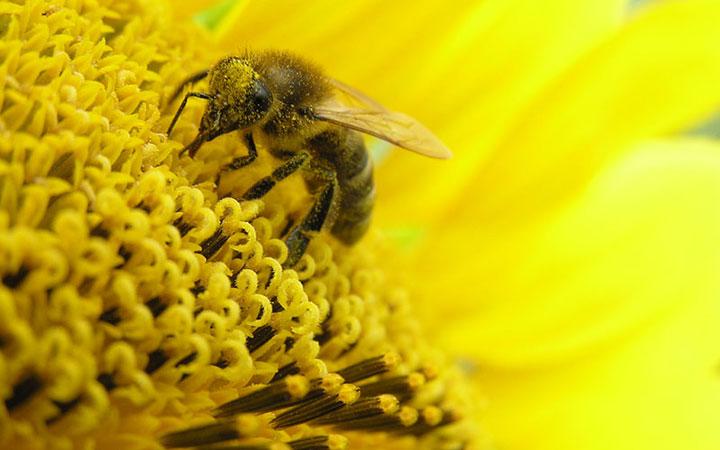 Пчела на цветке с пыльцой