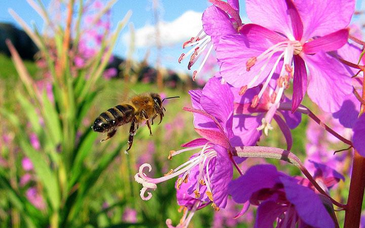 пчела и иван-чай
