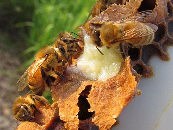 Пчелы собирают маточное молочко