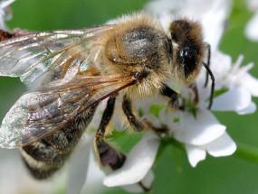 Пчела на кориандре