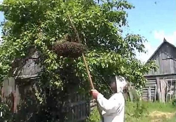 Снятие роя пчел с дерева