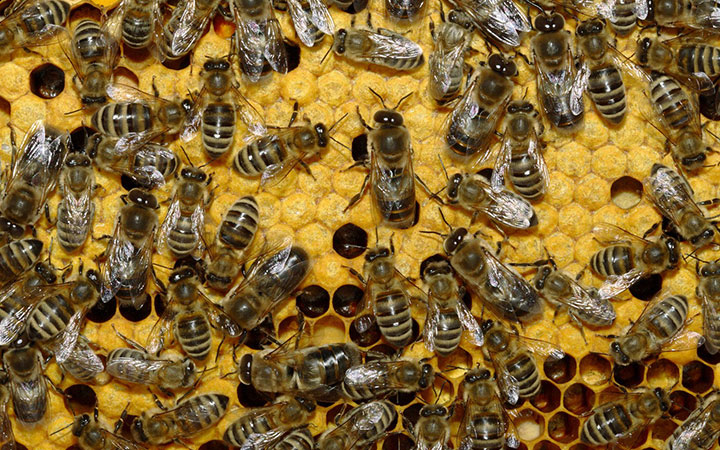 Скопление пчел