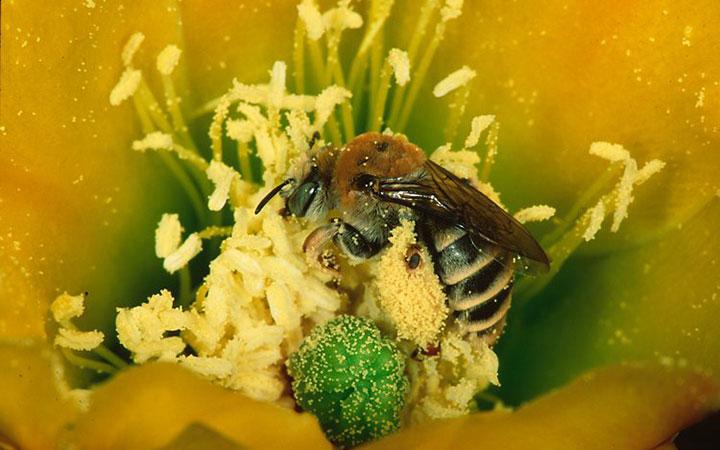Пчела работает на цветке