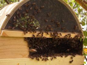 Пчелы в роевне