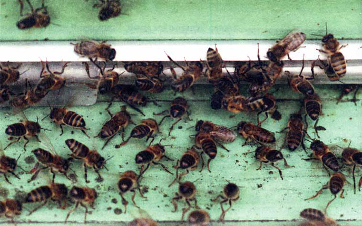 Пчелы у летка