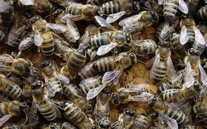 Пчелы-карпатки