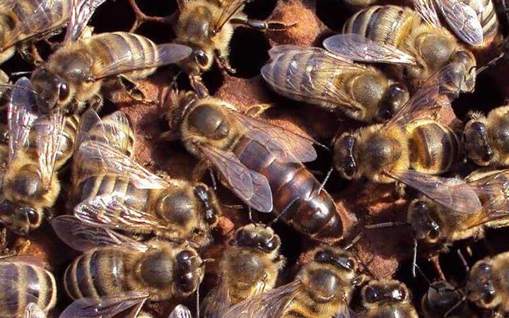 Пчелы вокруг матки