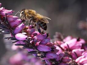 Пчела на цветках вереска