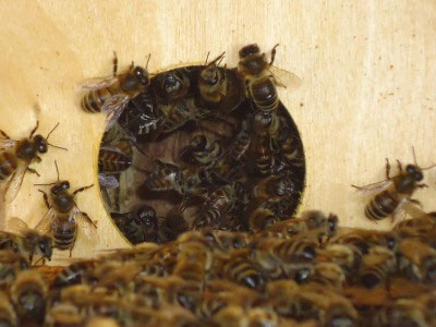 Пчелы на входе у улик