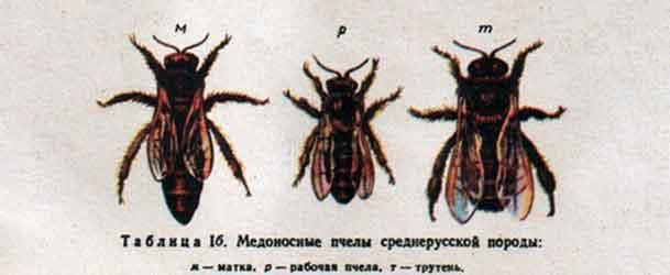 Виды пчел среднерусской породы