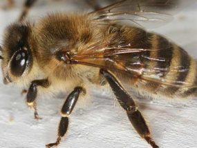 Пчела на столе